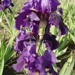 Iris germanica 'Allegiance' - Baardiris, zwaardiris - Iris germanica 'Allegiance'