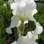 Iris germanica 'Bianca' - Baardiris, zwaardiris - Iris germanica 'Bianca'