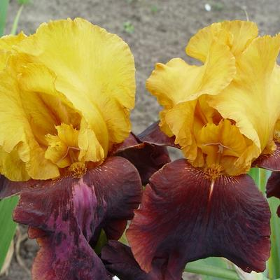 Iris germanica 'Supreme Sultan' - Baardiris, zwaardiris - Iris germanica 'Supreme Sultan'
