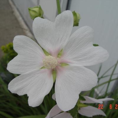 Lavatera 'White Angel' -