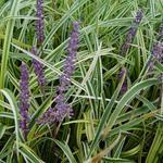 Liriope exiliflora 'Ariaka-janshige' - Liriope exiliflora 'Ariaka-janshige' - Leliegras
