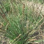 Molinia caerulea subsp. caerulea 'Igel' - Molinia caerulea subsp. caerulea 'Igel' - Pijpenstrootje