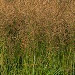 Molinia caerulea subsp. arundinacea 'JS Witches Broom' - Pijpenstrootje - Molinia caerulea subsp. arundinacea 'JS Witches Broom'
