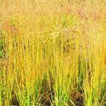 Molinia caerulea subsp. arundinacea 'JS Yellow Pipe' - Pijpenstrootje - Molinia caerulea subsp. arundinacea 'JS Yellow Pipe'