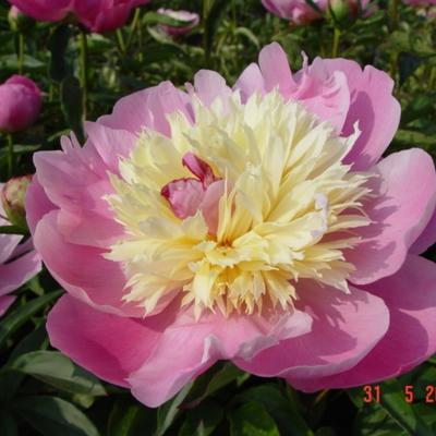 Paeonia lactiflora 'Bowl of Beauty' - Pioen - Paeonia lactiflora 'Bowl of Beauty'