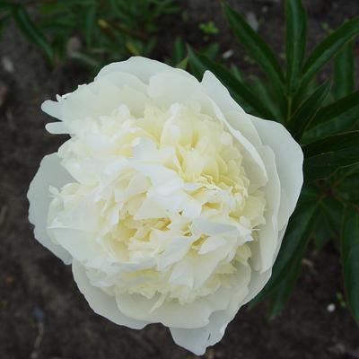 Paeonia lactiflora 'Duchesse de Nemours' - Pioen - Paeonia lactiflora 'Duchesse de Nemours'