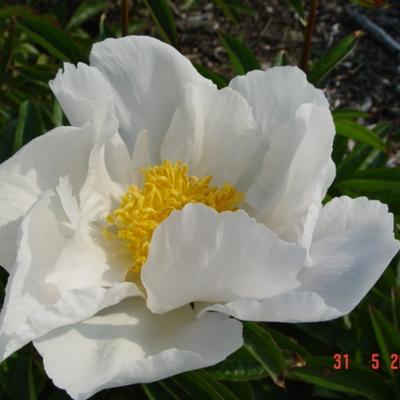 Paeonia lactiflora 'Krinkled White' -