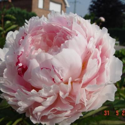 Paeonia lactiflora 'Sarah Bernhardt' -