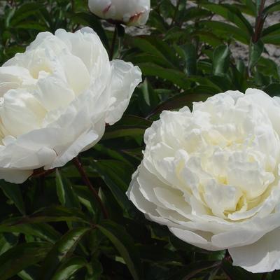 Paeonia lactiflora 'Shirley Temple' -