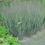 Panicum virgatum 'JS Black and Blue' - Vingergras