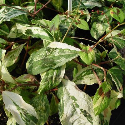 Persicaria virginiana var. filiformis 'Painter's Palette' -