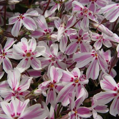 Phlox subulata 'Candy Stripes' - Kruipphlox