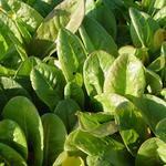 Rumex acetosa var hortensis - Zuring of zurkel - Rumex acetosa var hortensis