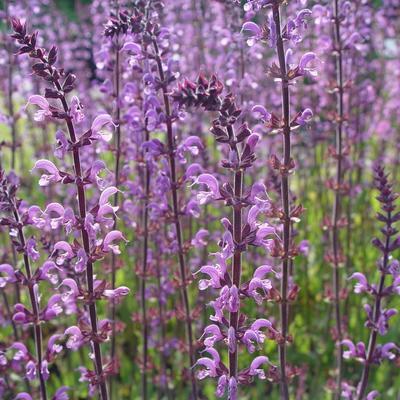 Salvia sylvestris (x) 'Serenade' - Veldsalie - Salvia sylvestris (x) 'Serenade'