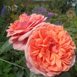 Rosa 'Chippendale' - Roos - Rosa 'Chippendale'