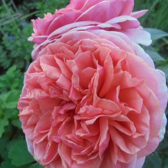 Rosa 'Chippendale'