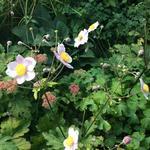 Anemone hupehensis 'September Charm' - Herfstanemoon of Japanse anemoon