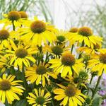 Echinacea SUNSEEKERS 'Yellow' - Rode zonnehoed
