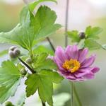 Herfstanemoon - Anemone x hybrida 'Giselle'