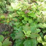 Hydrangea quercifolia 'Amethyst' - Hydrangea quercifolia 'Amethyst' - Eikenbladhortensia