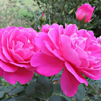 Rosa 'Pink Peace'