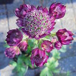 Astrantia major 'Rubra' - Zeeuws knoopje