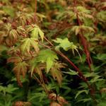 Acer palmatum 'Akane' - Acer palmatum 'Akane' - Japanse esdoorn