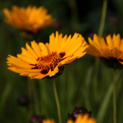 Coreopsis grandiflora 'Rising Sun' -