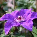 Clematis 'The President'  - Bosrank - Clematis 'The President'