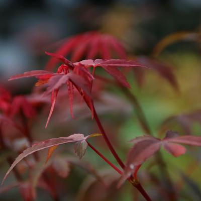 Acer palmatum 'Skeeter's Broom' -