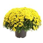 Chrysanthemum indicum - Chrysant - Bolchrysant - Chrysanthemum indicum