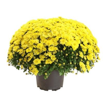 Chrysanthemum indicum -