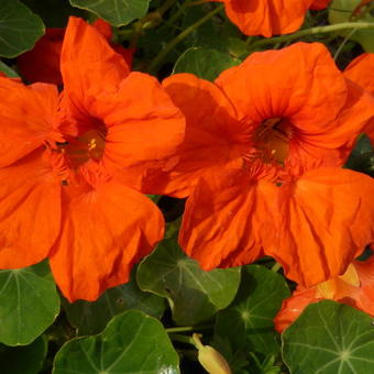 Tropaeolum majus 'Empress of India'