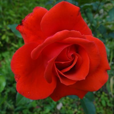 Rosa 'Kanegem' -
