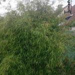 Bamboe - Fargesia nitida  'Jiu 1'