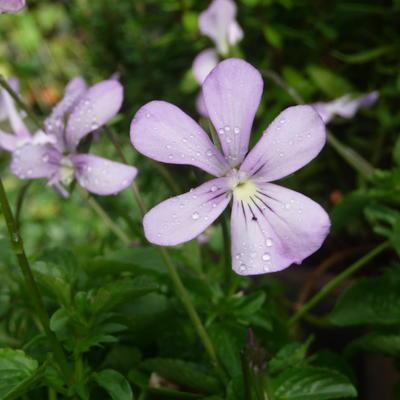 Viola cornuta 'Victoria's Blush' -