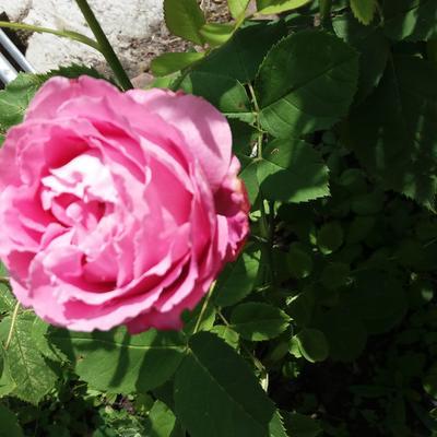 Rosa 'Mrs. John Laing' -