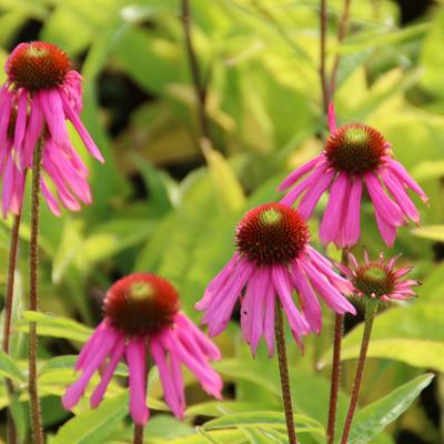 Echinacea purpurea 'Kim's Knee High' - Rode zonnehoed
