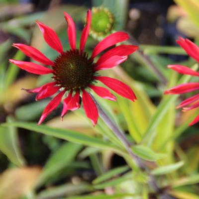 Echinacea tennesseensis 'Dixie Scarlet' - Rode zonnehoed