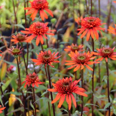Echinacea purpurea 'Irresistible' -