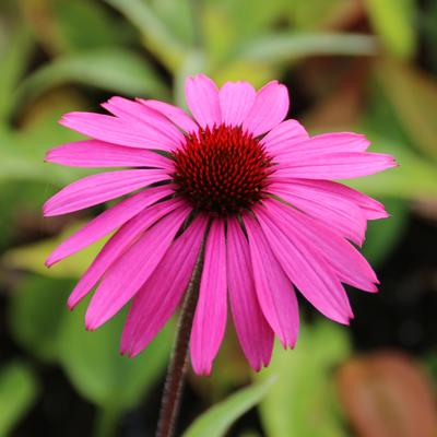 Echinacea purpurea 'Primadonna Deep Rose' -