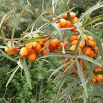 Hippophae rhamnoides - Duindoorn - Hippophae rhamnoides