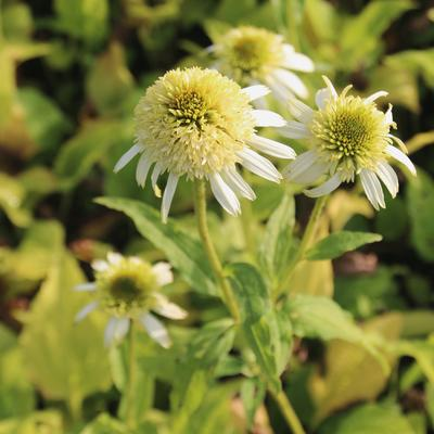 Rode zonnehoed - Echinacea purpurea 'White Double Delight'