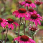 Echinacea purpurea 'Amazing Dream' - Rode zonnehoed