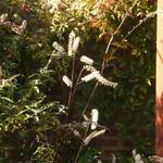 Actaea simplex 'Giant Strain' -