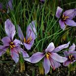 Crocus sativus - Crocus sativus - Krokus, saffraankrokus