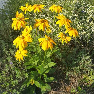 Rudbeckia hirta 'Irish Eyes'   -