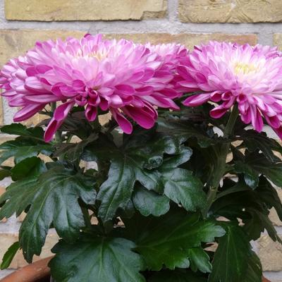 Chrysanthemum 'Zembla Purple' -