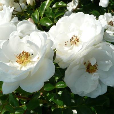 Rosa 'Innocencia'  -