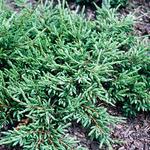 Juniperus communis 'Repanda' - Kruipende jeneverbes - Juniperus communis 'Repanda'